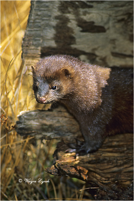 American Mink 108 by Dr. Wayne Lynch ©